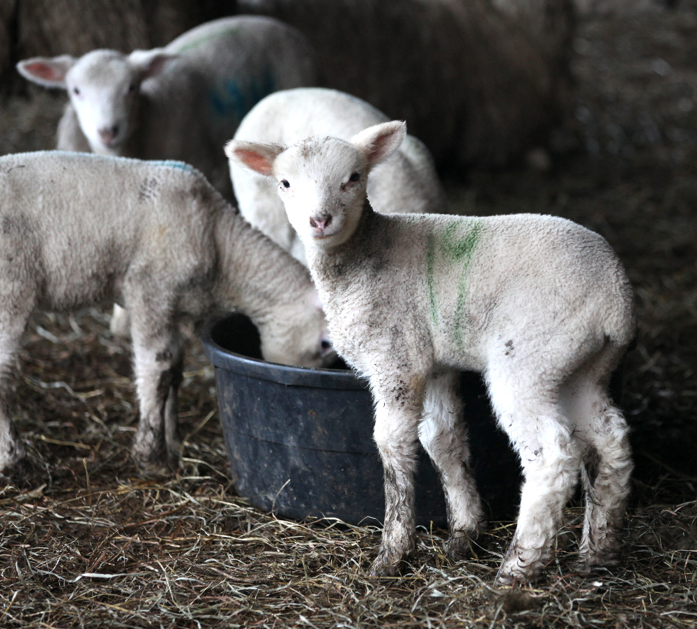 Getting Stitched on the Farm: More Cute Lamb Pics