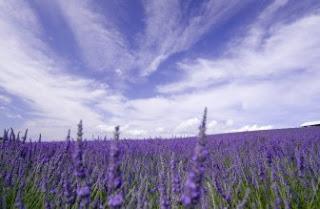 Foto Bunga Lavender Ungu yang Indah 22