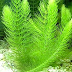 Tanaman Aquascape For Beginner