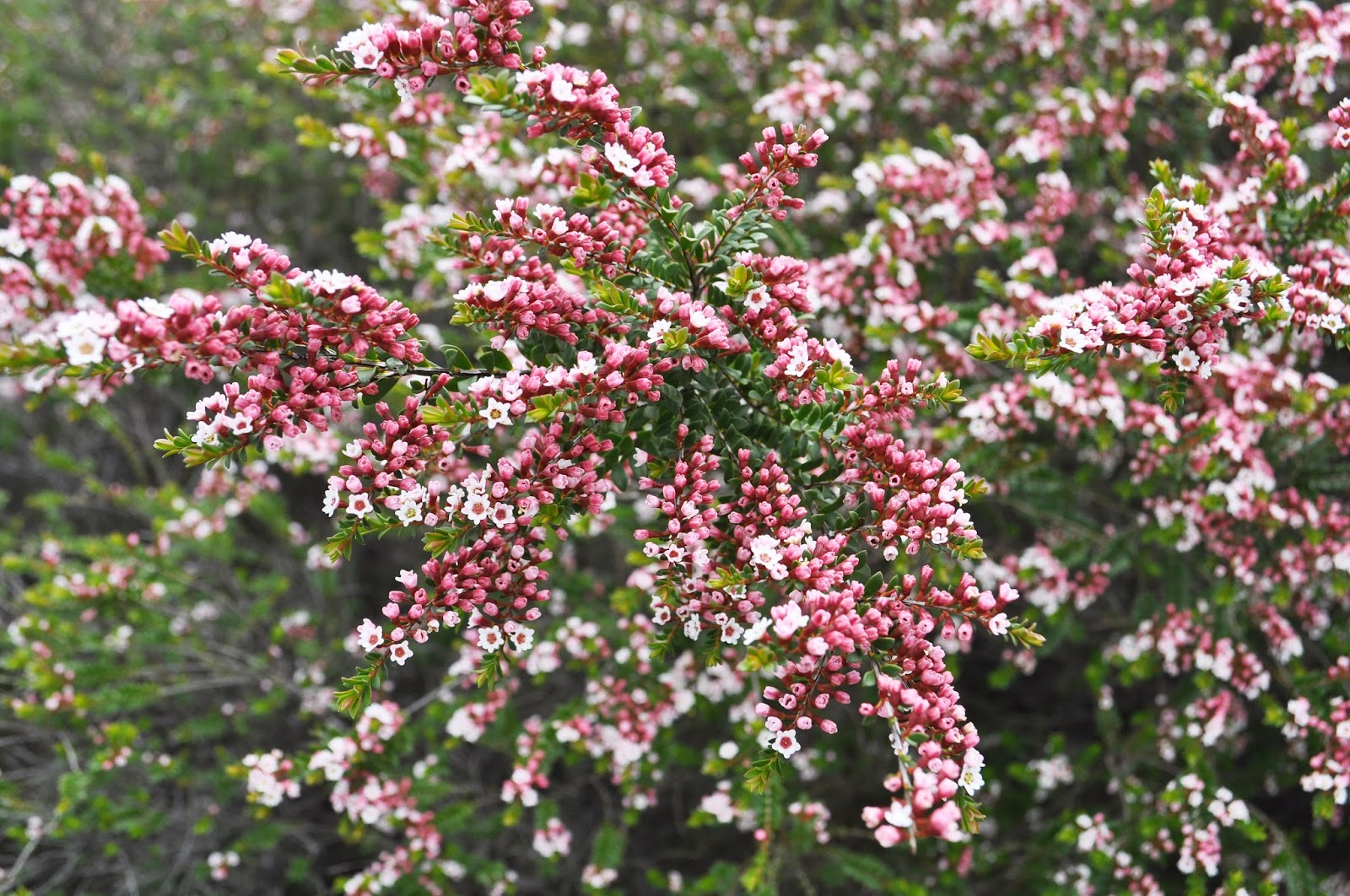 Pink Flowers Australia A Passion For Flowers Thryptomene