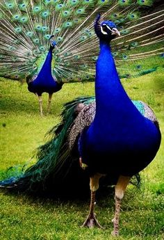 Indian peafowl (Pavo cristatus) | Our World's 10 Beautiful and Colorful Birds