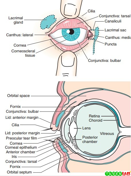 Common ocular structures.