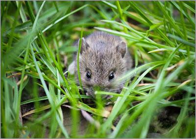 Tips Ampuh Mengatasi Hama Tikus Pada Tanaman Padi