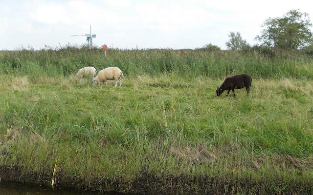 Twee witte en één bruin schaap in het weiland