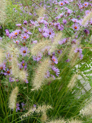 Autumn Fountain Grass and New England Asters at the Toronto Botanical Garden's Perennial Borders by garden muses--not another Toronto gardening blog