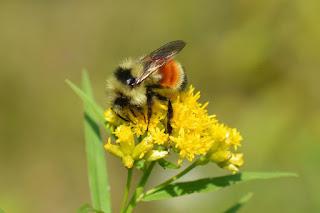 """""""النحلة الطنانة"""" تواجه خطر الانقراض.. تعرف عليها"""