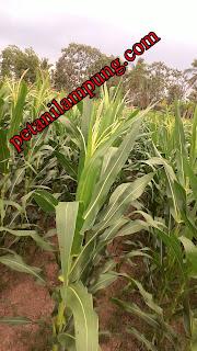 hama dan penyakit tanaman jagung dan cara pengendaliannya