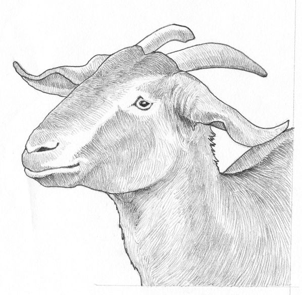 Pictures of Realistic Goat Drawing - #rock-cafe
