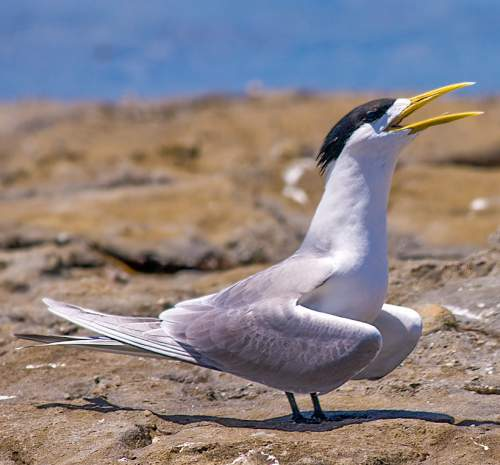 Indian birds - Image of Great crested tern - Thalasseus bergii