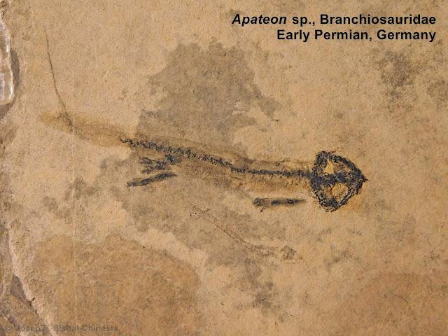 https://2.bp.blogspot.com/-chH-tiJMzOA/XEZVRJJGMII/AAAAAAAAIE0/ZZEoIApI20I28SGGJzGTmlvEAGDXOLhzwCLcBGAs/s640/Branchiosaurus%2BBranchiosauridae%2BApateon%2BGermany%2BDeutschland%2BAmphibia%2BTemnospondyli%2BDissorophoidea%2BPermian%2BCarboniferous%2Bprehistoric%2Bamphibians%2BFossils%2Bgills%2Bbranchia%2Bneoteny%2Bpaedomorphic%2Bage%2Banfibi%2Banfibio%2BP%25C3%25A9rmico.JPG