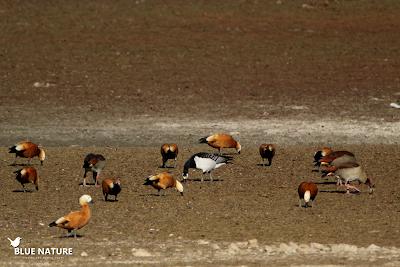 Barnacla cariblanca (Branta leucopsis) en el Embalse de Santillana, Madrid. Fecha: 22/12/2017. Mostraba un comportamiento muy gregario junto con otras aves como tarros canelos y gansos del Nilo.
