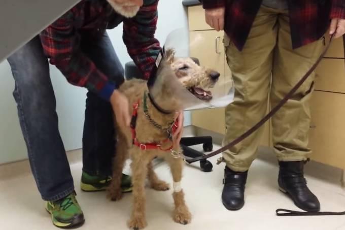 O cachorro Duffy por causa da diabetes, perdeu a visão. Passou por uma cirurgia que lhe devolveu a possibilidade de enxergar