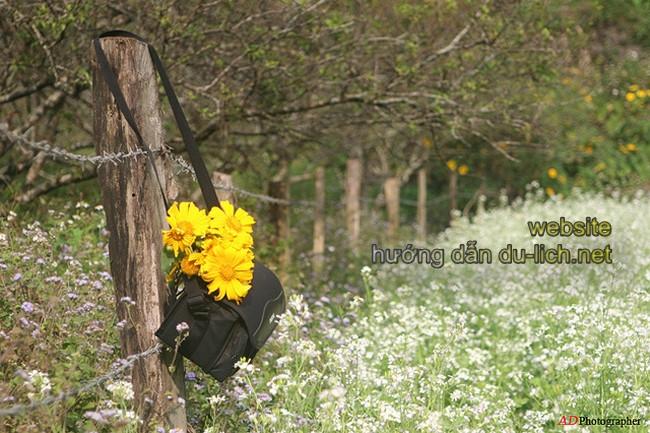 Đâu cũng có hoa dã quỳ
