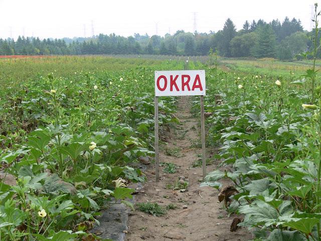Okro-Farming-Business