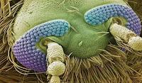 голова комара под микроскопом фото