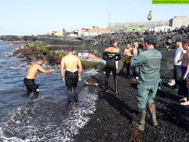 El Cabildo libera una tortuga verde de la charca del barrio costero de El Remo