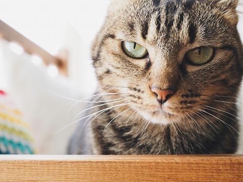 目つきの悪いキジトラ猫