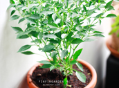 http://finfingarden.blogspot.com/2015/07/birds-eye-chili-plant.html