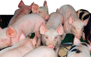 Bệnh do E. coli trên heo thịt. Ảnh minh họa