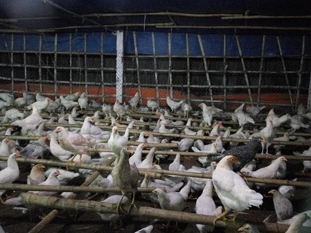 Lão nông Nam Định sở hữu 20.000 con gà, lãi 50 triệu đồng/tháng - Ảnh 3