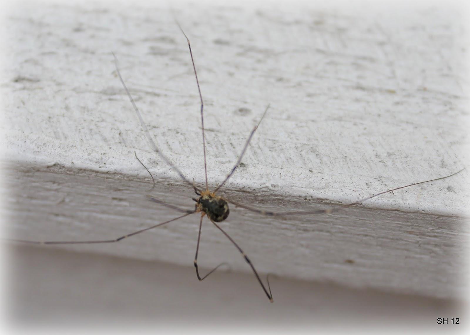Pitkäjalkainen Hämähäkki