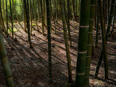 Winter bamboo grove: Kencho-ji