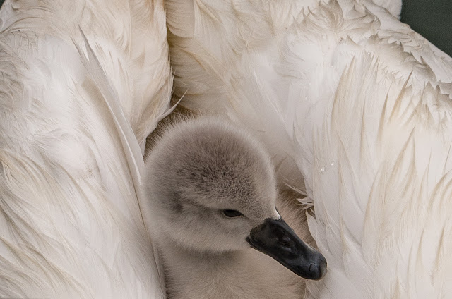Photo of a cygnet hitching a ride on Mum's back