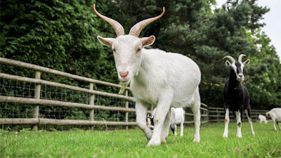 People Gang Raped Goat FIR Lodged