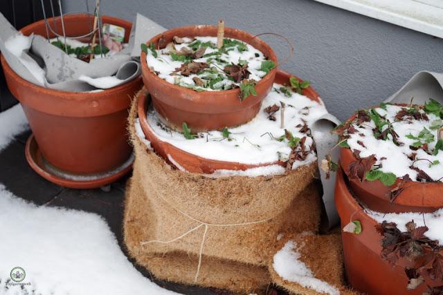 Gießen im Winter  was muss man beachten? - Gartenblog Topfgartenwelt