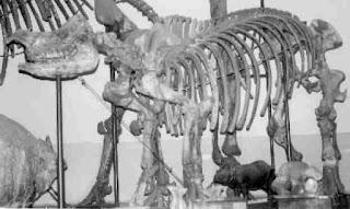 Fosil Badak Purba Zaman Plestosen