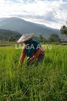 pengalaman,budidaya tanaman,pertanian,usaha pertanian,lmga agro