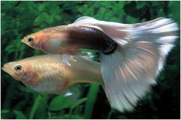 Gambar Ikan Hias Cantik – Ikan Guppy