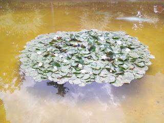Lilies, Flowering, Yambol City Park, Pond, Yambol,
