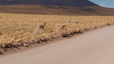 a herd of wild vicuna