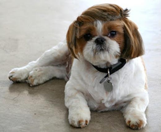 Chùm ảnh thú cưng bị cắt tỉa lông