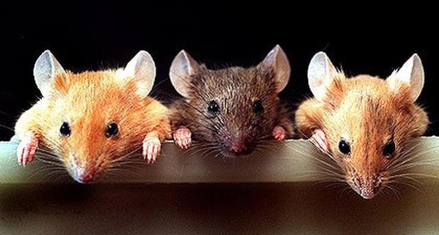 Bí ấn giấc mơ thấy chuột có ý nghĩa gì?