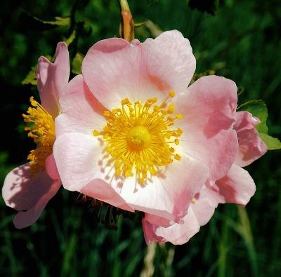 Mawar liar (wild rose) = kesederhanaan