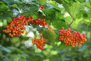 Rot-Orangefarbene Beeren hängen an einem Strauch, überdeckt mit Blättern