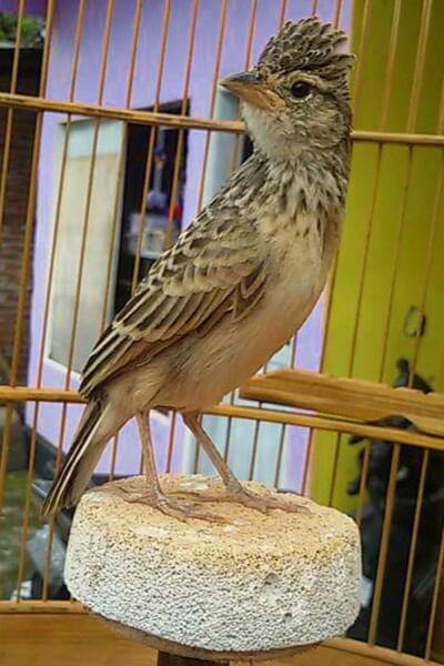 Burung Branjangan Indonesia