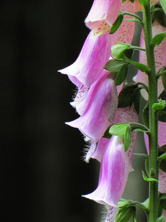 Naparstnica purpurowa (Digitalis purpurea L.).