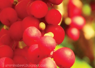 Schisandra_Chinensis_Fruit_Extract_bahan_sumber_semulajadi_dalam_Youth_Skincare_Shaklee