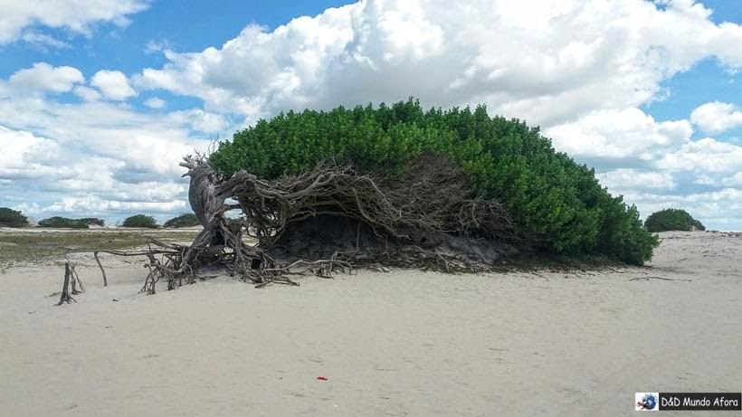 Árvore da Preguiça - Passeio de um dia em Jericoacoara - o que fazer e como chegar