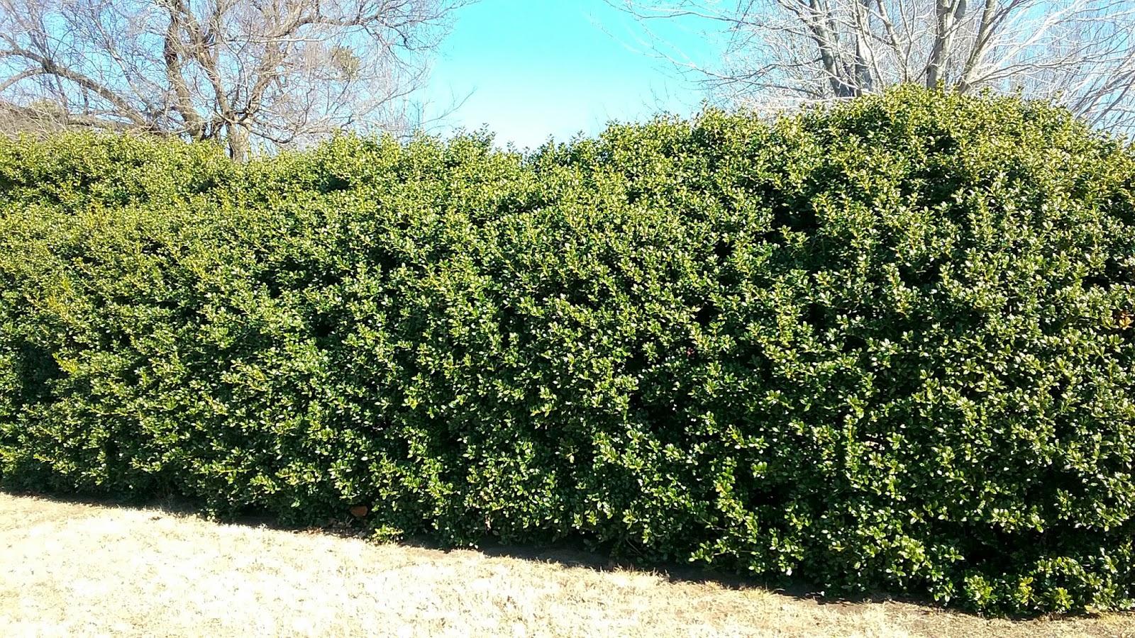 Camellia Japonica Roger Hall shrubs prune and rejuvenate