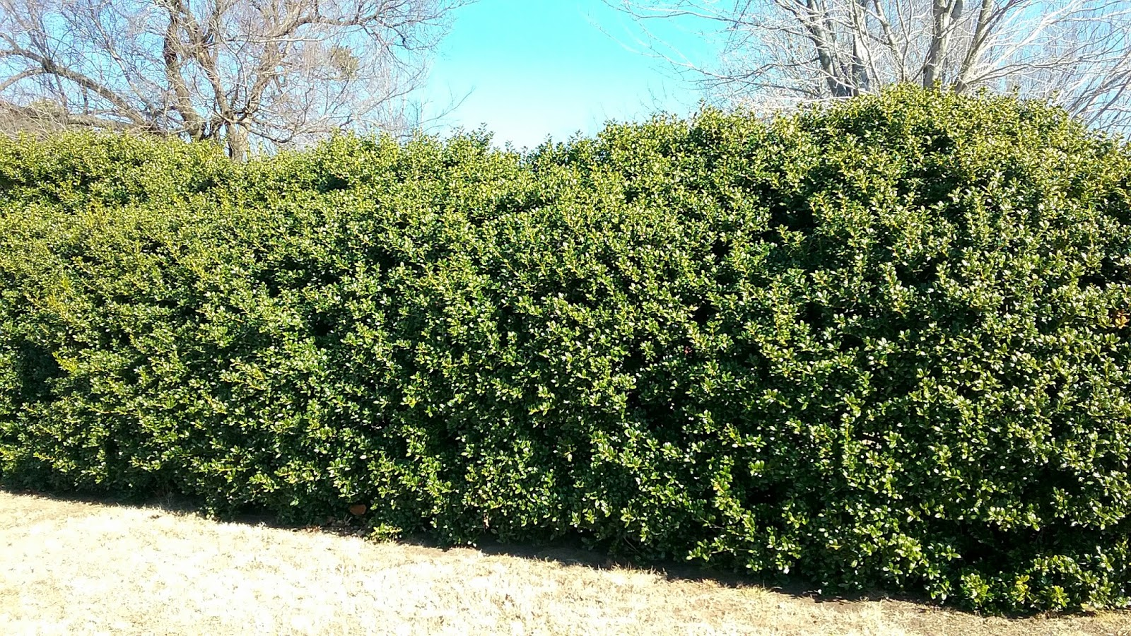 Shrubs Prune And Rejuvenate