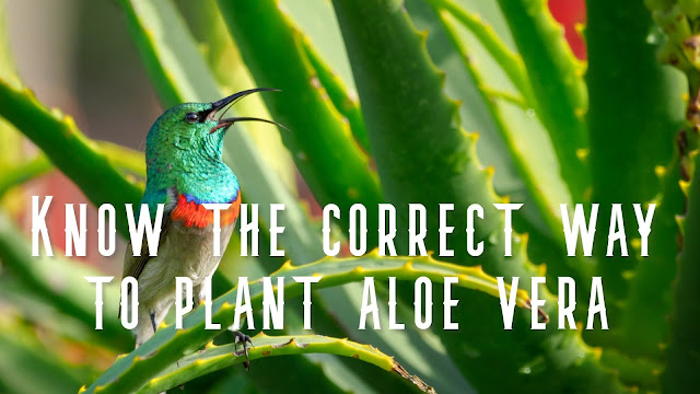 Know the correct way to plant aloe vera