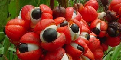 artikel kesehatan, gizi, gizi guarana, goji, goji berries, goji berry, guarana, kesehatan, manfaat guarana, Manfaat Kesehatan, nutrisi,