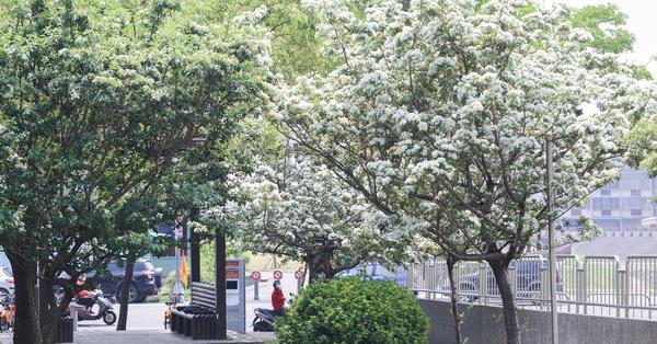 《台中.大里》2018積善公園四月雪流蘇盛開,樹葉就像被白雪覆蓋