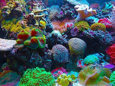 Corales y madréporas. Arrecife de coral.