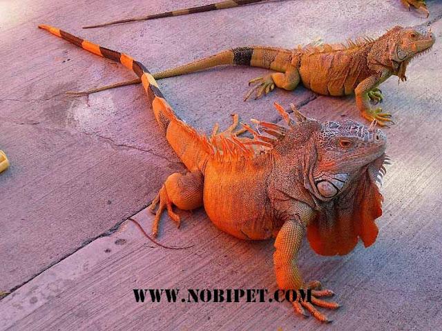Ban-bo-sat-canh-reptiles-rong-nam-my-iguana-gia-re-tai-da-nang-2