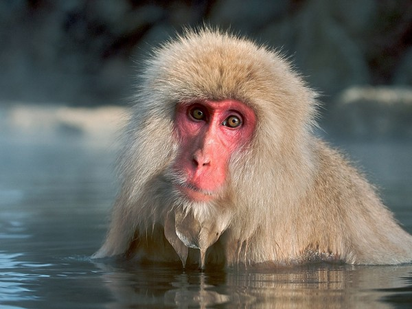 funny monkey wallpaper - photo #3